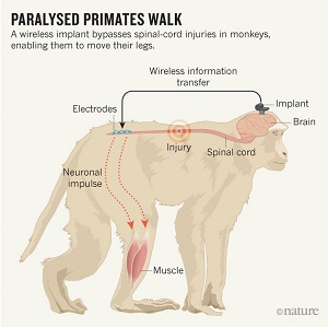 Un impianto cerebrale permette a scimmie paralizzate di camminare