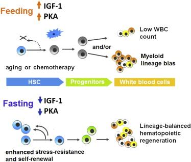 Il digiuno prolungato riduce l'IGF-1/PKA per promuovere la rigenerazione cellulare ed invertire l'immunosoppressione